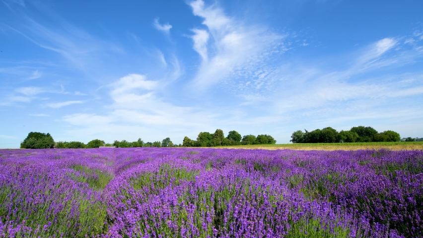 Beautiful summer day over lavender field | Shutterstock HD Video #1059120869