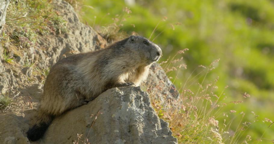 MS Alpine marmot (Marmota marmota) laying on rock looking in distance / Carpathian Mountains, Europe