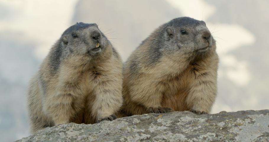 MS Alpine marmots (Marmota marmota) sitting close together / Carpathian Mountains, Europe