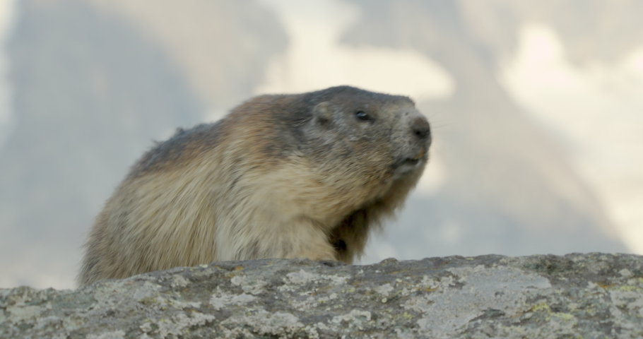 MS Alpine marmots (Marmota marmota) appearing from behind another / Carpathian Mountains, Europe