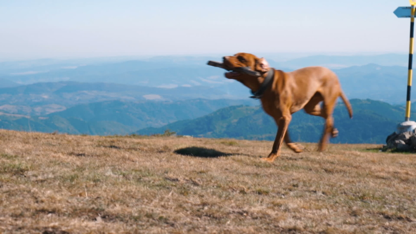 Young happy Hungarian Vizsla Dog running with stick in mouth. Slow motion  Royalty-Free Stock Footage #1059187349