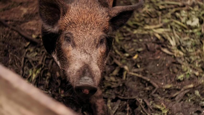 Boar is eating foods . The hairy wild boar is eating foods on the pen. The wild boar has white hair with black spots   Shutterstock HD Video #1059199589
