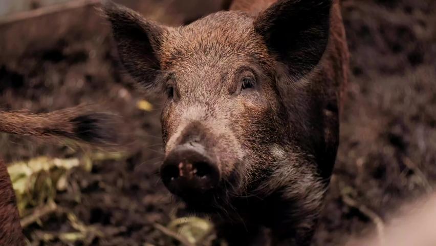 Boar is eating foods . The hairy wild boar is eating foods on the pen. The wild boar has white hair with black spots   Shutterstock HD Video #1059199607