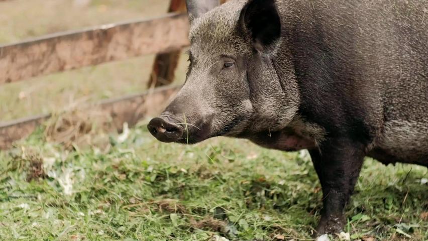 Boar is eating foods . The hairy wild boar is eating foods on the pen. The wild boar has white hair with black spots   Shutterstock HD Video #1059199721