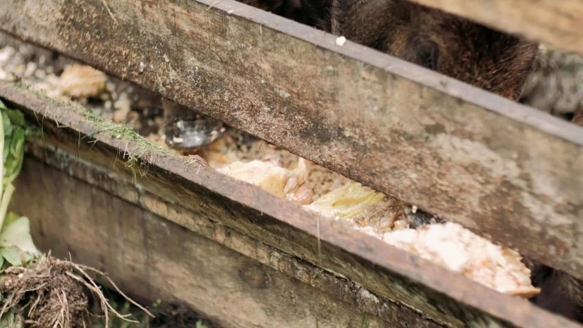 boar is eating foods . The hairy wild boar is eating foods on the pen. The wild boar has white hair with black spots   Shutterstock HD Video #1059199727