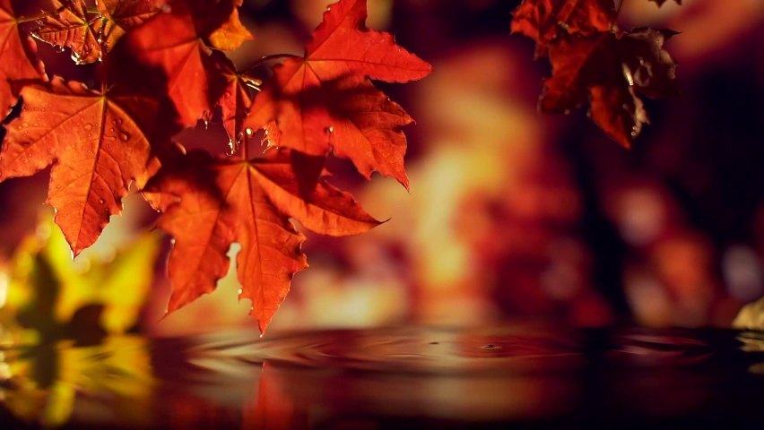 Close up of red golden leaves falling over the water. raindrops fall into the water a dark background. autumn forest or park. reflection drop of water falling. Macro. slow motion. golden rain evening. | Shutterstock HD Video #1059199883