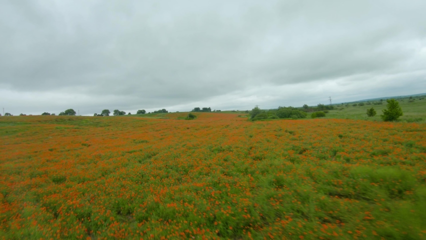 FPV drone quickly and maneuverably flies over a flowering poppy field | Shutterstock HD Video #1059207392