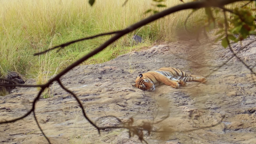 Bengal tiger is a Panthera tigris population native to the Indian subcontinent. Ranthambore National Park Sawai Madhopur Rajasthan India.