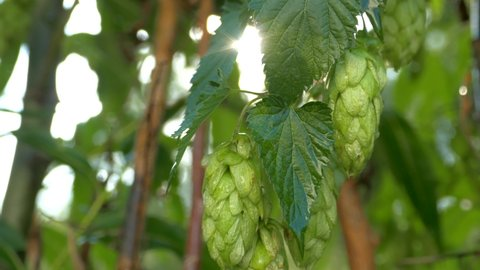 Green cones of hops on the background of sun rays