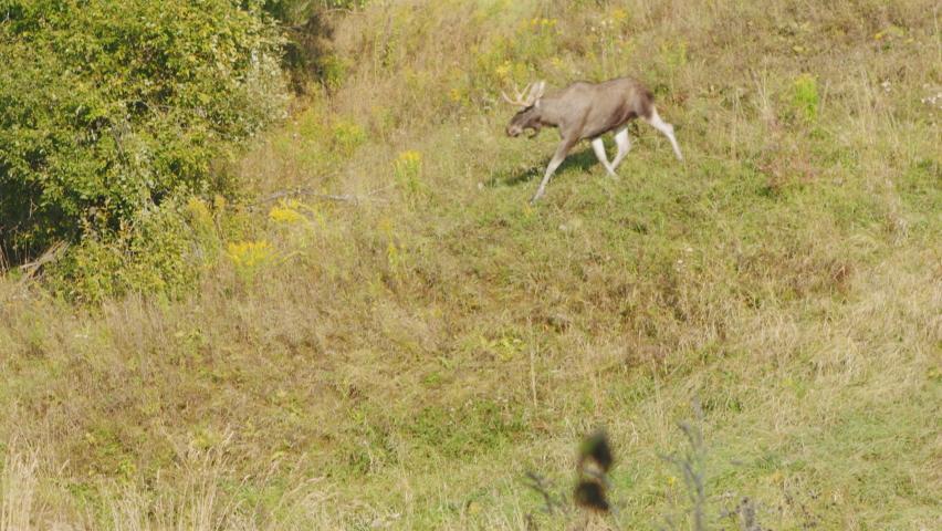 Bull moose male adult lone walking through colorful autumn meadow on hillside.   Shutterstock HD Video #1059213785