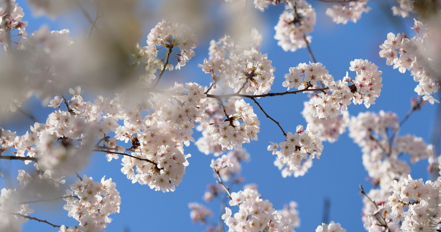 A branch of cherry blossoms in full bloom. Shoot video while rotating the camera. | Shutterstock HD Video #1059242948