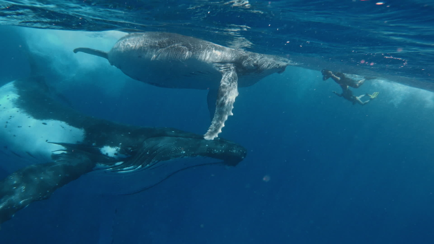 Meeting humpback whale, enjoying freediving and snorkeling underwater world, giant whale in the deep sea. | Shutterstock HD Video #1059248801
