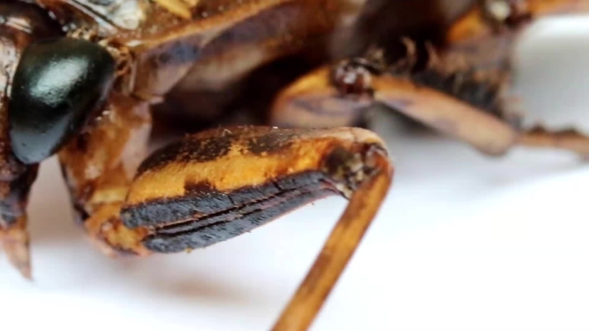 A macro view of rotating fried cockroach. A roasted bug, close up. A edible insects. | Shutterstock HD Video #1059252824