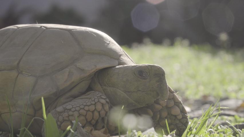 Close up to tortoise sunbathing, Geochelone chilensis | Shutterstock HD Video #1059253853