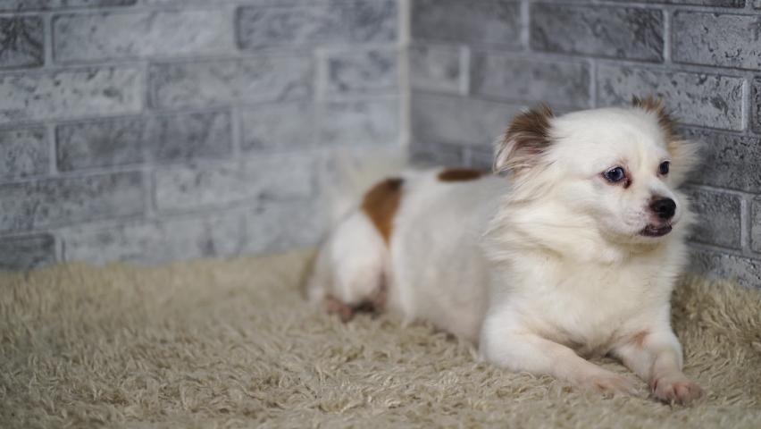 Little relaxed dog lying on carpet. Little white dog with blue eyes lying on light carpet at home | Shutterstock HD Video #1059257729