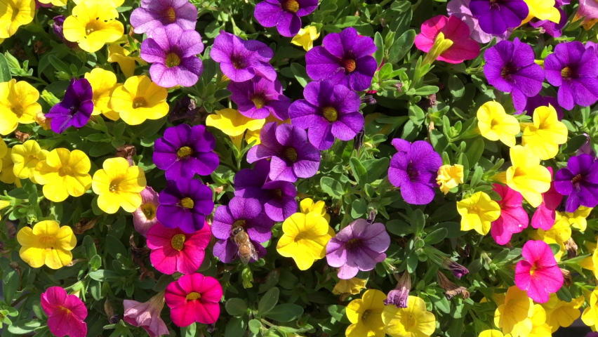 4K HD video a honey bee collecting pollen from vibrant yellow, purple and magenta pink Paradise Island Calibrachao Fuseable flowers, also know as petunias.   Shutterstock HD Video #1059257882