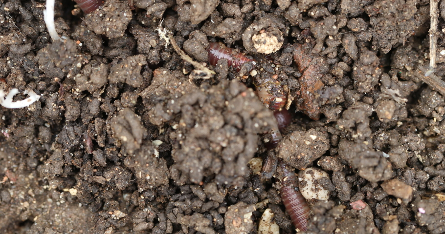 "Vermicomposting waste and make nutrient-rich ""worm manure"", Lumbricus terrestris, the common European earthworm moving in the ground Royalty-Free Stock Footage #1059273083"