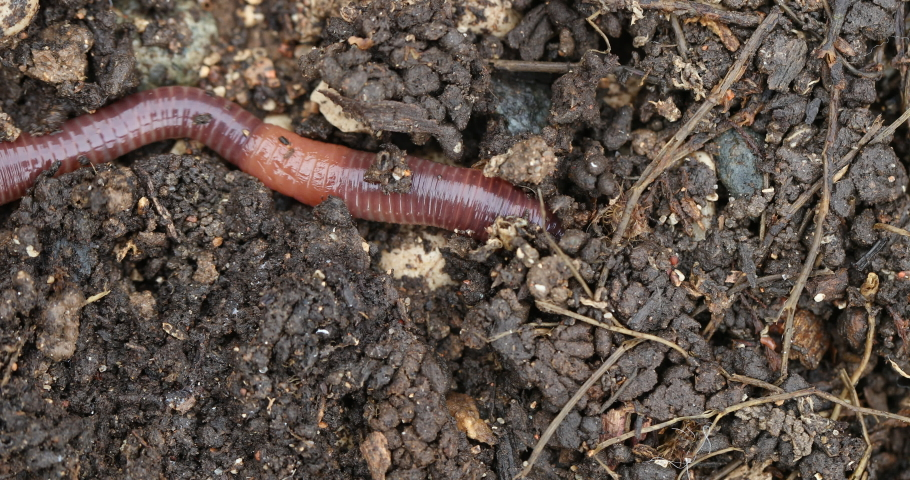 Vermicompost (vermi-compost), Lumbricus terrestris, the common European earthworm moving in the ground #1059273095
