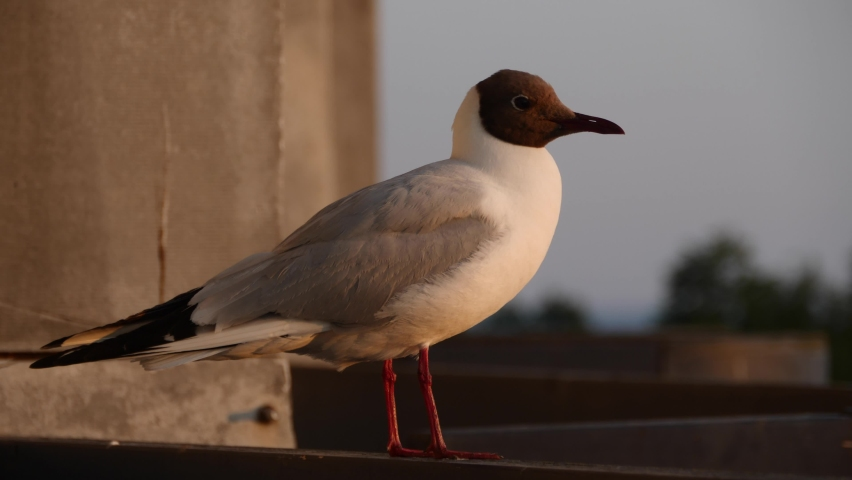 Seagull sitting on railing. Bird looks around while sits on the railing   Shutterstock HD Video #1059275699