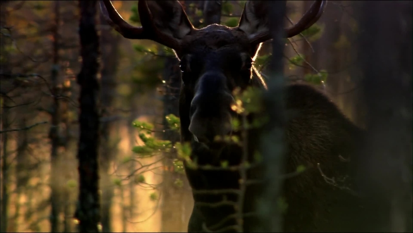 The moose or elk (Lat. Alces alces) is the largest extant species in the deer family. Moose are distinguished by the broad, flat (or palmate) antlers of the males. | Shutterstock HD Video #1059280016