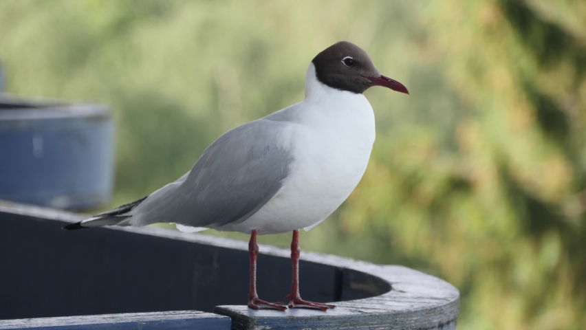Seagull sitting on railing. Bird looks around while sits on the railing   Shutterstock HD Video #1059280172