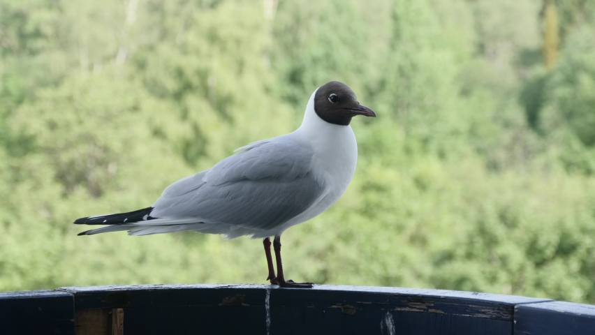 Seagull sitting on railing. Bird looks around while sits on the railing   Shutterstock HD Video #1059288515