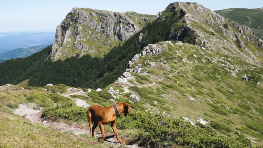 Hungarian Vizsla Dog on mountain trail. Dog against green mountains and rocky peaks Royalty-Free Stock Footage #1059319664