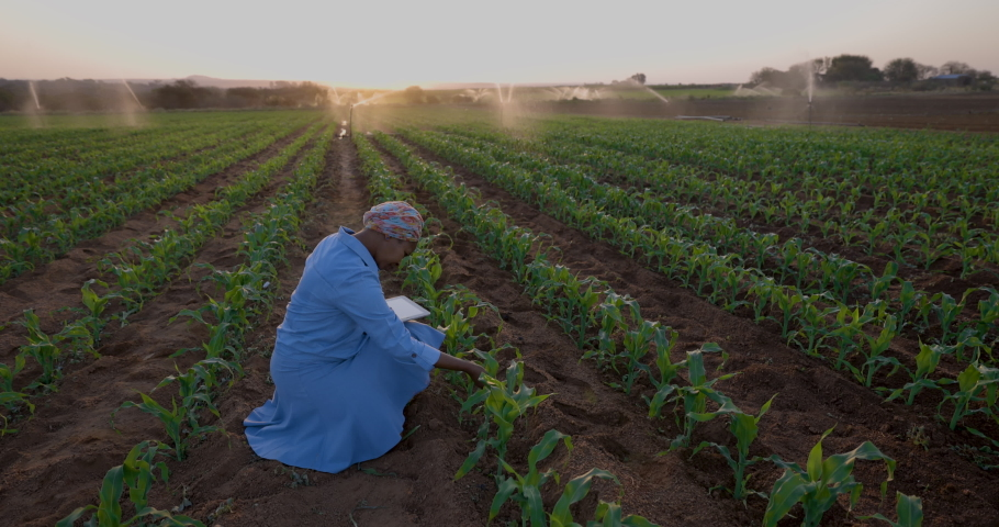Black African female farmer using a digital tablet to monitor a corn crop that is being irrigated on large scale vegetable farm