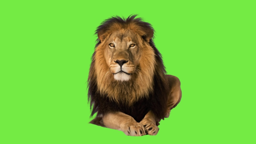 animation lion talk on green screen Royalty-Free Stock Footage #1059465599