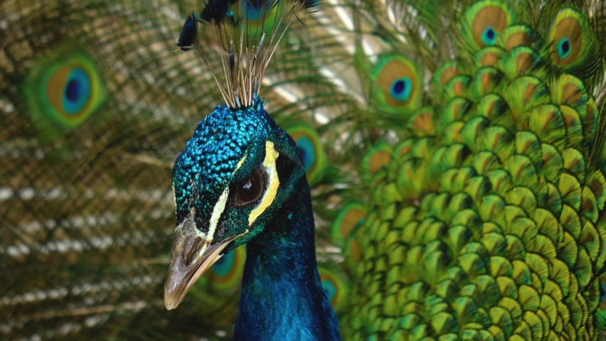 Close up view of peacock spreading his tail feathers Royalty-Free Stock Footage #1059469988