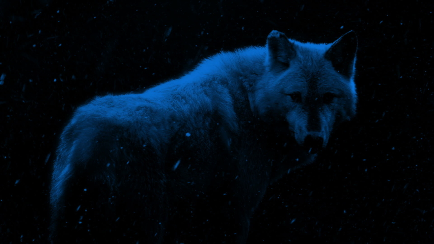 Wolf In Snowfall At Night | Shutterstock HD Video #1059477770
