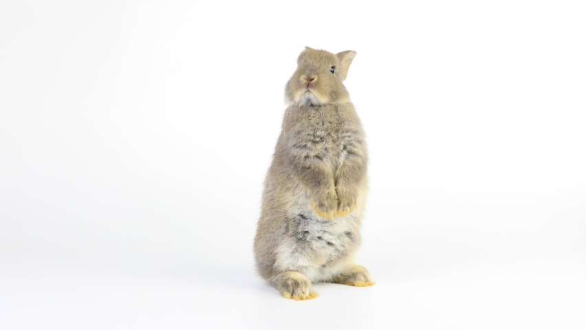 A healthy lovely bunny easter grey rabbit stands up on two legs, cleaning face, ears, body, sniffing, looking around, on blue screen background. Cute fluffy rabbit, Lovely Animal concept.