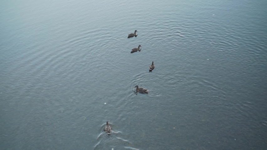 Five Mallard Ducks Swimming On The Shallow Crystal Clear Water Of Kamogawa River In Kyoto, Japan. high angle shot.   Shutterstock HD Video #1059561437