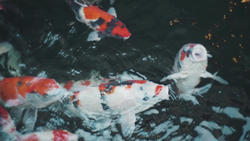 Beautiful Koi Fish Swimming Near The Surface Of Clear Water Pond In Kyoto, Japan. Closeup Shot   Shutterstock HD Video #1059562373