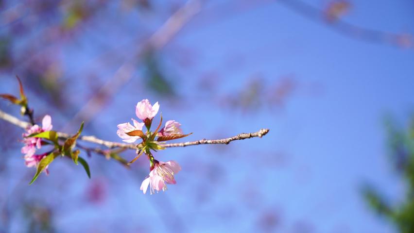 Beautiful sakura flowers with blue sky.   Shutterstock HD Video #1059562493