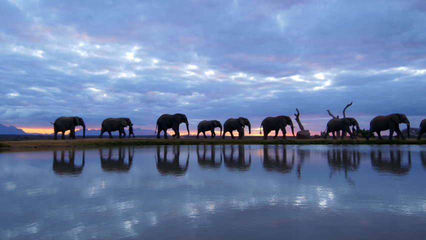 Spectacular orange & purple cloudy sky sunset with large elephant herd guided by human handlers walking across frame reflecting in water below, magical African Safari experience in slow motion.   Shutterstock HD Video #1059567560