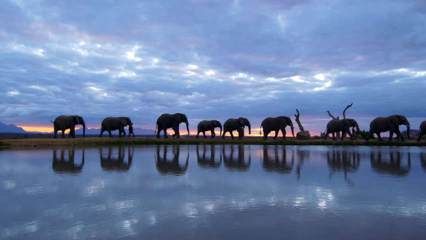 Amazing animal conservation moment of herd of African elephants walking across horizon with their human handlers as silhouettes against a breathtaking cloudy orange sunset, reflected in water below.   Shutterstock HD Video #1059567563