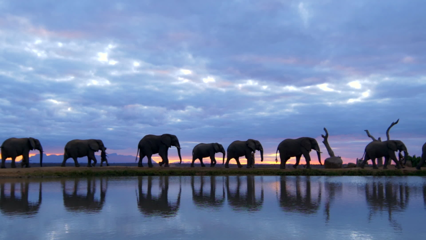 Breathtaking african safari sunset moment of elephant herd guided by human handlers walking across frame with golden sunset reflected in water below in realtime. Royalty-Free Stock Footage #1059568133