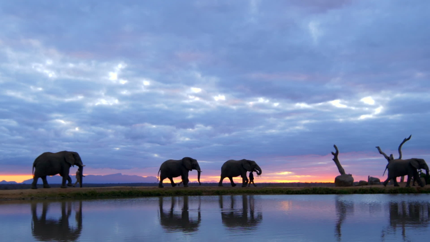 Beautiful African sunset safari moment of elephants and their handlers walking across horizon, with silhouettes reflecting in water below in slow motion.   Shutterstock HD Video #1059568700