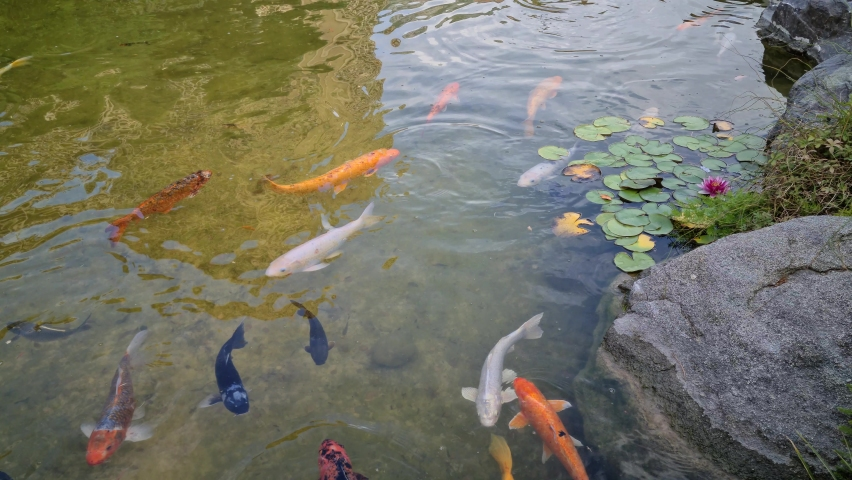 8K Many Large Koi Carp Swimming In A Japanese Pond With Water Lilies - 8K UHD (7680 x 4320)   Shutterstock HD Video #1059569132