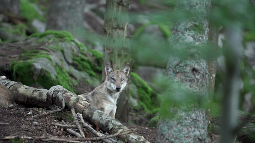 Eurasian wolf hides in the forest. Wolf has a rest. Wolf pack in the dark forest. Europe nature.  | Shutterstock HD Video #1059577166