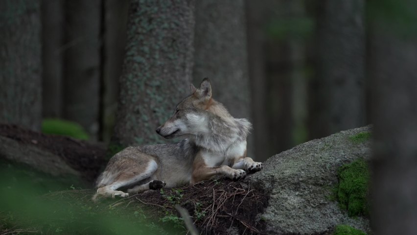 Eurasian wolf hides in the forest. Wolf has a rest. Wolf pack in the dark forest. Europe nature.  | Shutterstock HD Video #1059577169