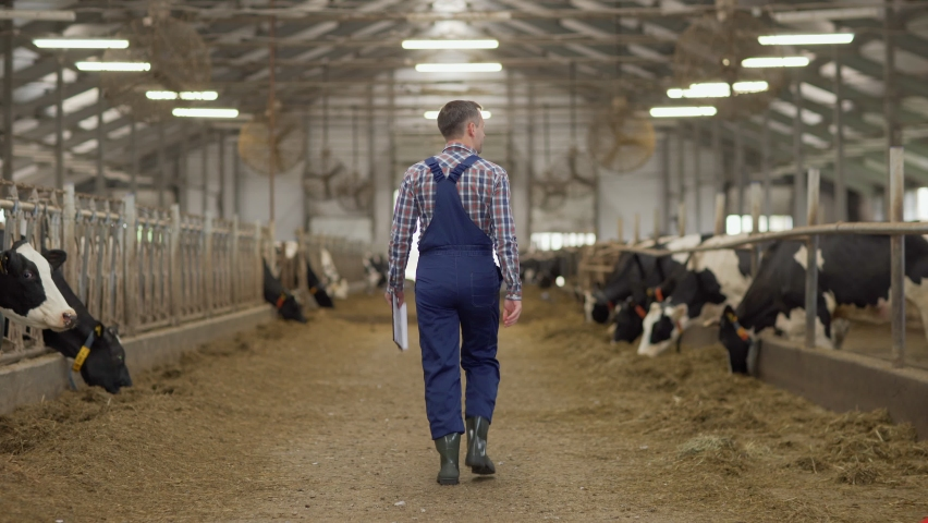 Back view follow shot of farm worker in uniform walking down aisle in cowshed and checking stalls with dairy cows eating hay