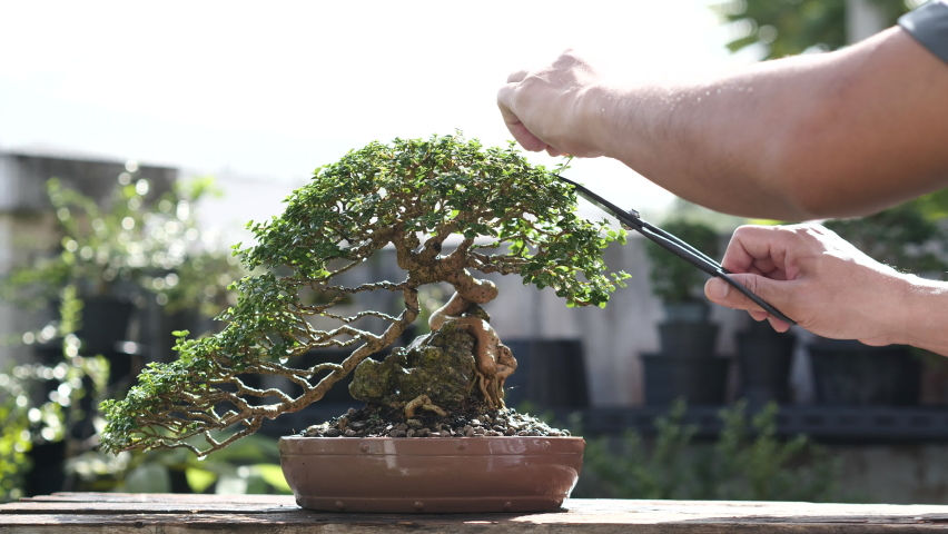 Pruning small bonsai tree. Trimming bonsai trees by using shears/scissors for cutting wood branches.   Shutterstock HD Video #1059578150