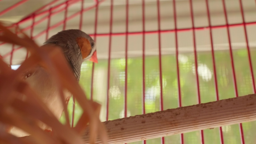 Couple small birds zebra finches is in a red cage. Wild birds are now domestic. | Shutterstock HD Video #1059578972