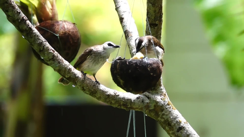Close up pair of bulbul bird perching on swaying coconut shell eating banana in backyard,hd slow motion. Two yellow vented bulbul birds.  | Shutterstock HD Video #1059580064