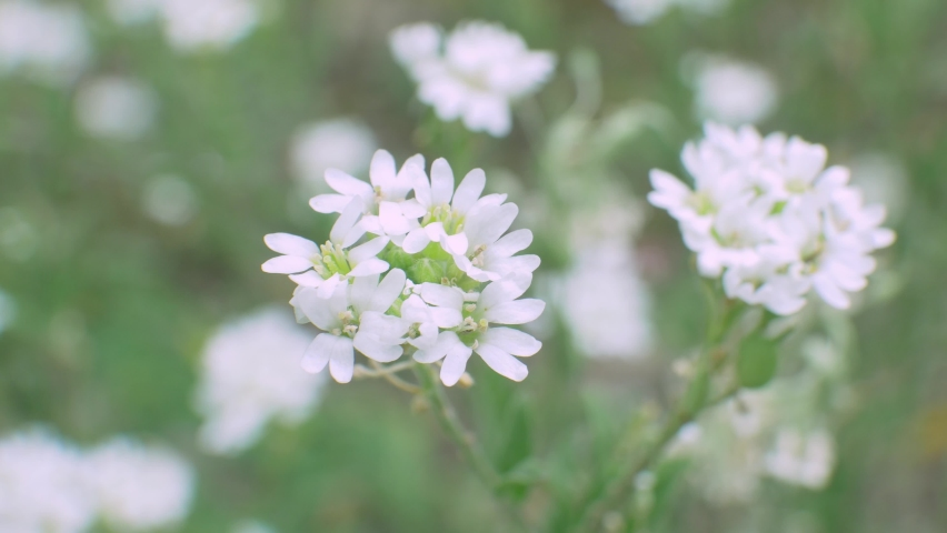 White blossom wild flower in field on green background | Shutterstock HD Video #1059580205