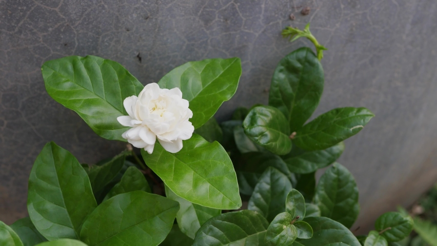 4K White jasmine flower on plant with green leaves in nature outdoor, love symbol of mother's day. | Shutterstock HD Video #1059581918