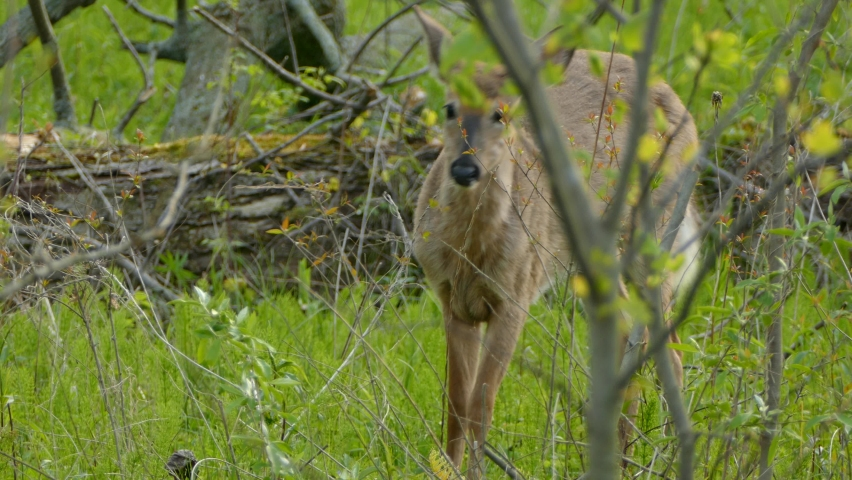 Young innocent simple deer gets spooked by himself after stumbling in twigs