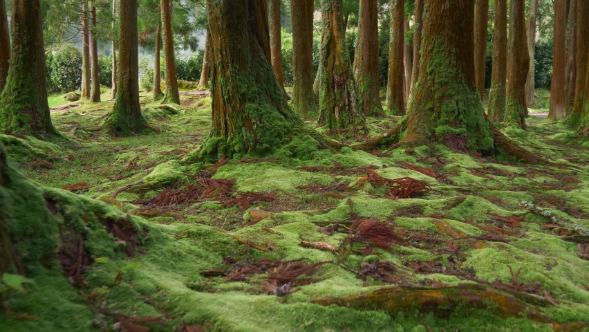 Trees overgrown with magnificent moss on Sao Miguel Island, Portuguese archipelago of the Azores. Walking among the trees in the magic forest. Gimbal shot, 4K Royalty-Free Stock Footage #1059722597